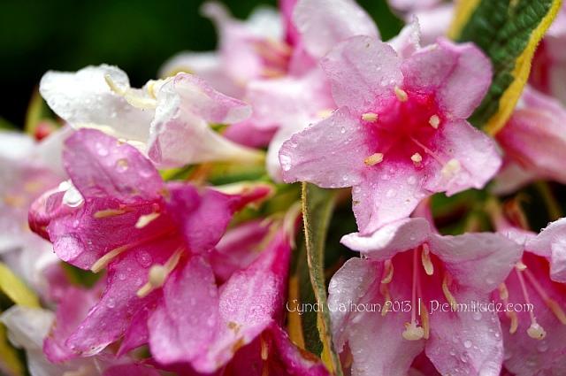 spirea flowers