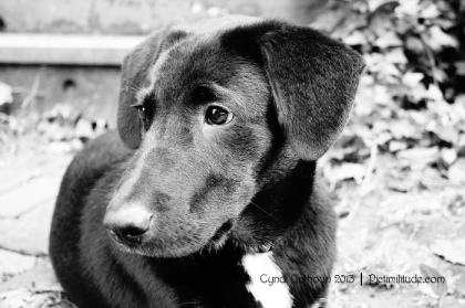 black dog staring