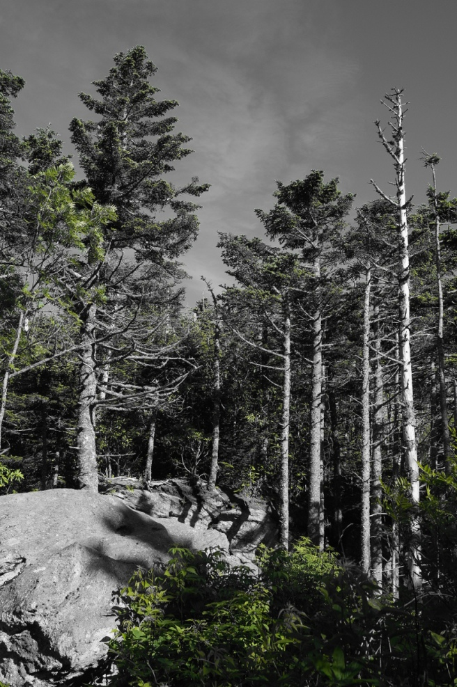 pine trees western NC